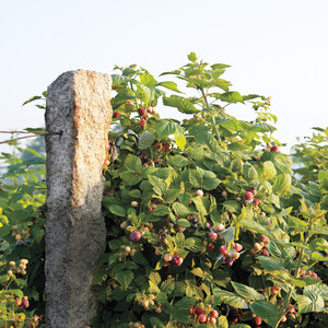 Bramble Fruits