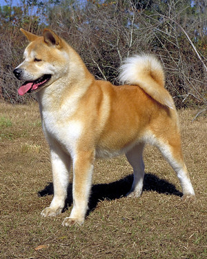 akc_working_akita_bloom.jpg
