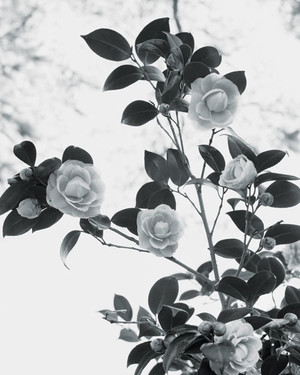 The Beauty of Camellias