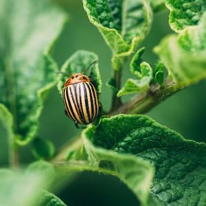 Potato Beetle on a Plant