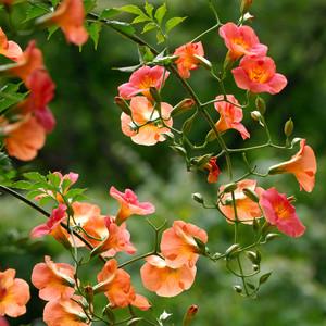trumpet vines pink floral weed
