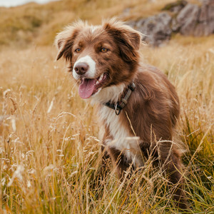 Border Collie Sheepdog in the Grass