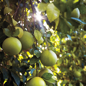 Citrus Too