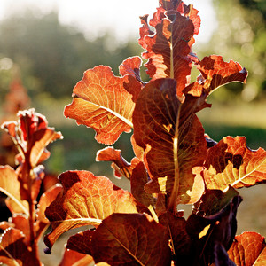 red leaf oak lettuce in the sun