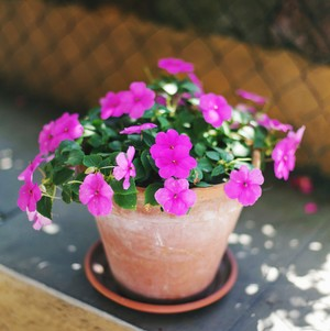 purple impatiens in a pot