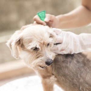 dog getting a flea treatment