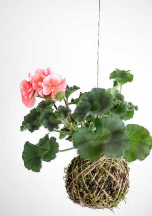 Craft your own hanging Kokedama garden