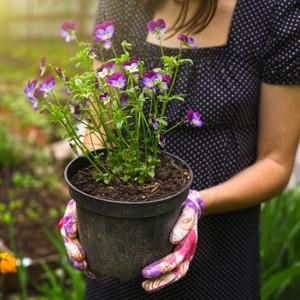Woman Planting Pansies in Garden