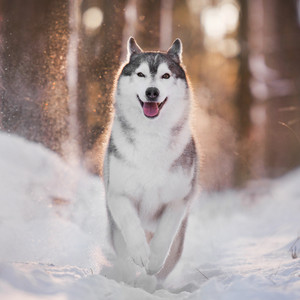 husky dog running through snow