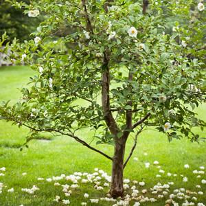 stewartia tree white