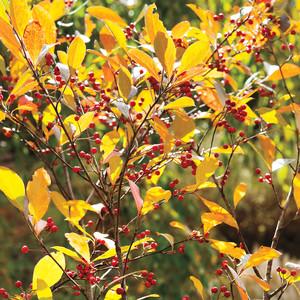 """Aronia Arbutifolia """"Brilliantissima"""""""