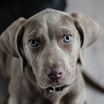 Does Your Dog Stare at You? There Could Be a Few Reasons Why