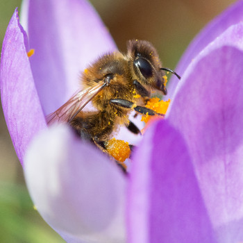 bee on purple flower with pollen