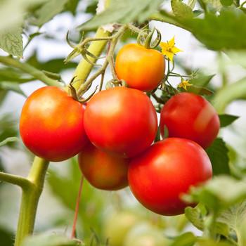 tomato vine plant