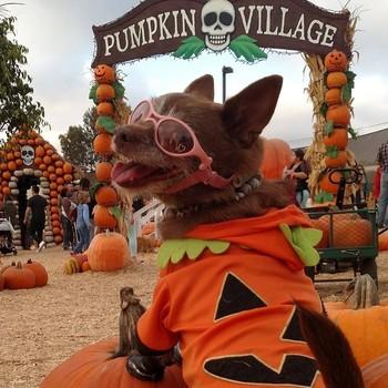 Coco Puffz the dog while pumpkin picking