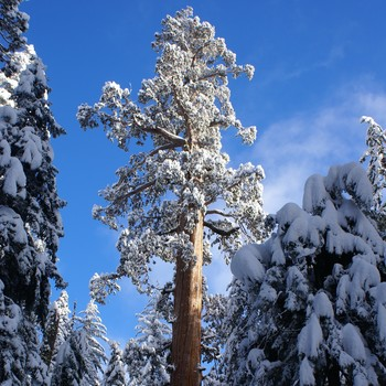 "Visit the General Grant Tree: A Living Sequoia Called the ""Nation's Christmas Tree"""