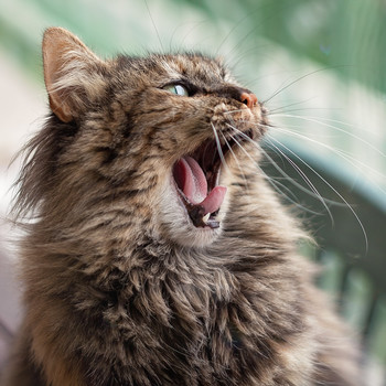 How to Remedy Your Cat's Gingivitis