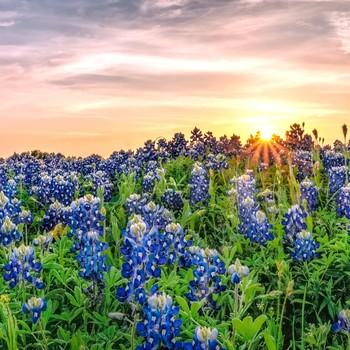 bluebonnets under Texas sunset