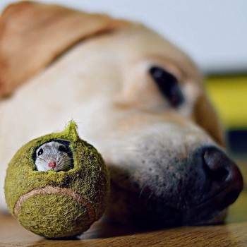 Mouse hiding in tennis ball next to dog laying on the floor