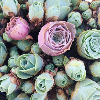 bed of pink and green rose succulents