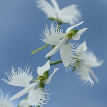 white egret orchids