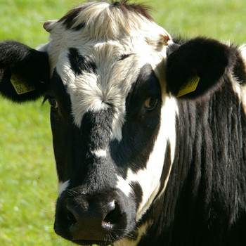 New Study Finds Cows All Have Unique Moos to Express Their Feelings