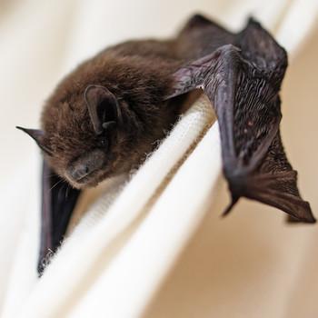 bat hanging on curtain
