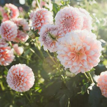 pink dahlias blooms