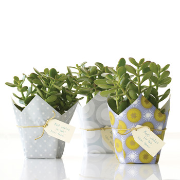 Lucky Plant Gift