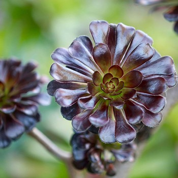 Succulent 'black rose' called Aeonium 'Zwartkop'