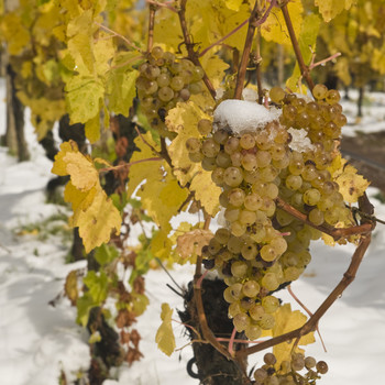 ice wine grapes topped with snow