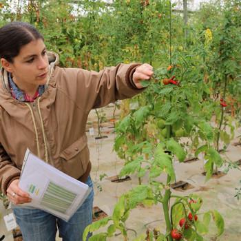 Leah Rosental checking tomato plant