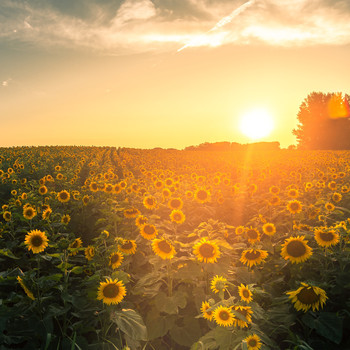 A Wisconsin Farmer Planted Two Million Sunflowers to Spread Joy During the Pandemic