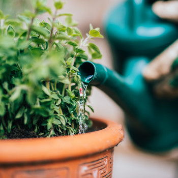 watering plants with green canister