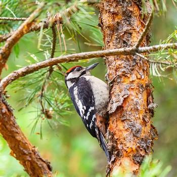 woodpecker in a tree