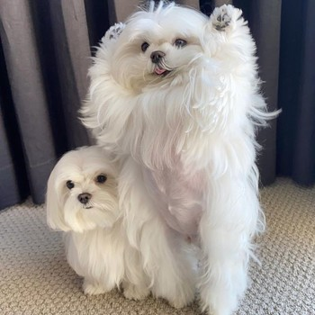 Coco and Cici, maltese therapy dogs