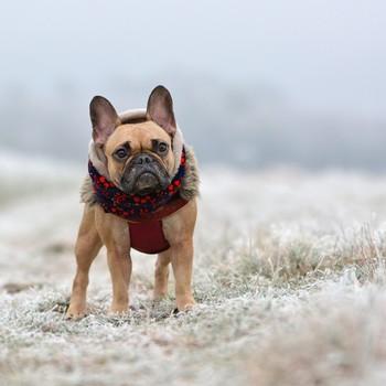 French Bulldog wearing a coat
