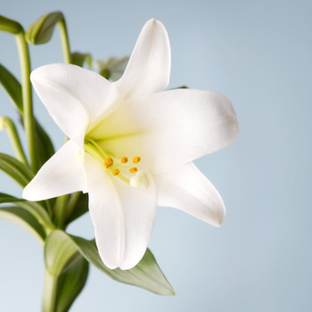 easter lily potted plant bloom