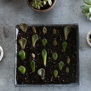 How to Propagate Succulents Video