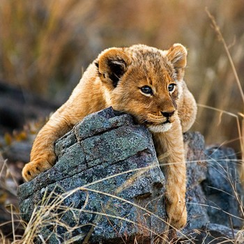 lion cub relaxing on rock
