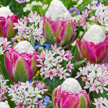 raspberry sundae tulips