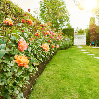 rose garden in yard with white picket fence