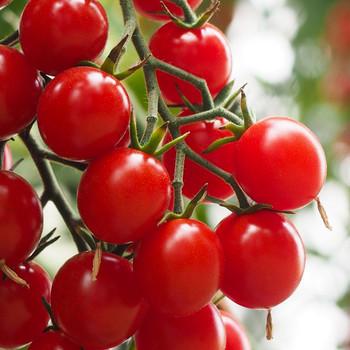 crokini tomato
