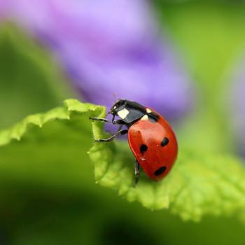 good garden pests lady bug on leaf