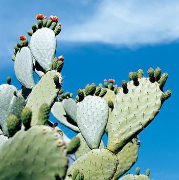 cactus beauty ingredient