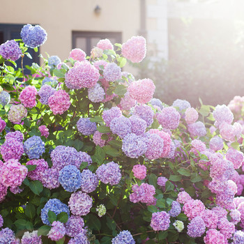 pink and purple hydrangeas in sunlight