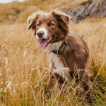 Border Collie Sheepdog in the Grass