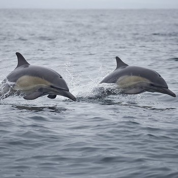 dolphins swimming in California