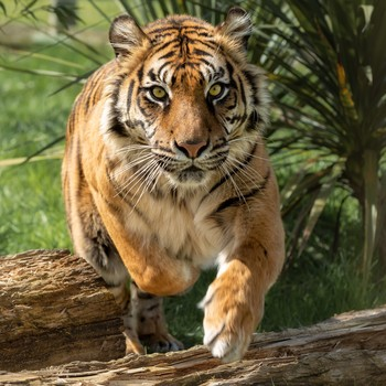 tiger cat in the wild
