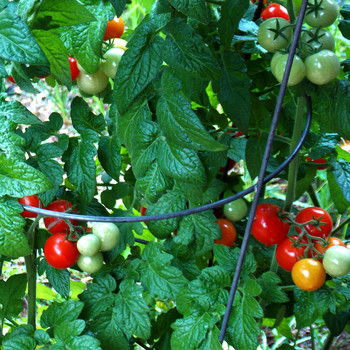 cherry tomato plant with wire cage